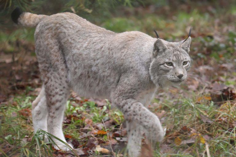lynx2 Domaine Zoologique de Pescheray zoo-animaux-parc-animalier-foret-visite-enfant-famille-domaine-zoologique-de-pescheray-le breil-sur-merize-le-mans-sarthe-pays-de-la-loire