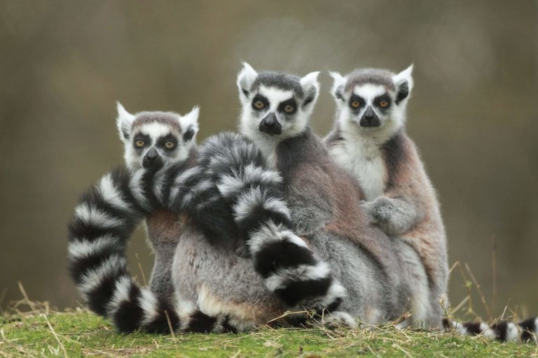 maki catta4 Domaine Zoologique de Pescheray zoo-animaux-parc-animalier-foret-visite-enfant-famille-domaine-zoologique-de-pescheray-le breil-sur-merize-le-mans-sarthe-pays-de-la-loire