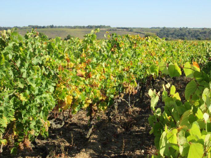 Les vignes selon Val, randonnées pédestres commentées Anjou coteau du layon Aubance